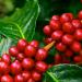 Kaffebär på kaffeplantage