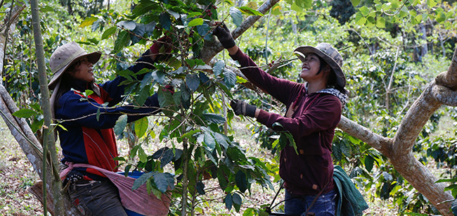 Två kvinnor skördar kaffe i Vietnam